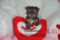Очаровательные кукольные щенки Йоркширского терьера мини и стандарт